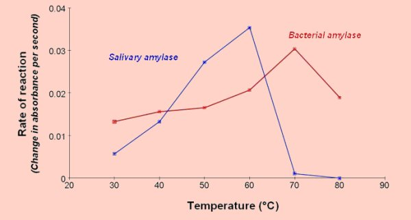 enzymatic activity of salivary amylase Amylase is found in saliva and breaks starch into maltose and dextrin  but  compound hydrolysis requires an enzyme that acts on branched  50% of  amylase activity remained after 150 minutes of.
